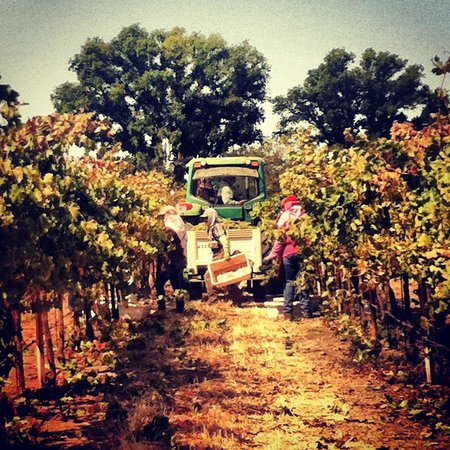 Pomar Junction Vineyard & Winery: Harvest