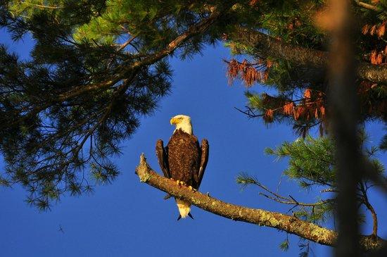 Edgewater Motel & Cottages : neighborhood bald eagle
