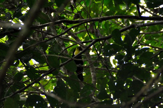 Osa Rainforest Rentals: Toucan in the tree behind Casa Los Suenos