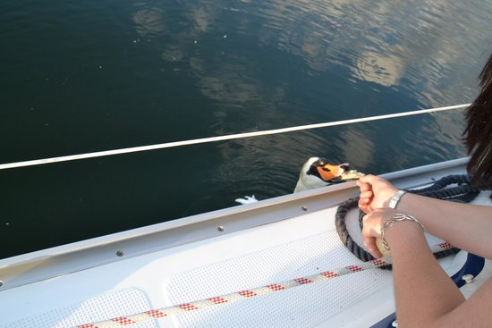 Sailingdinnercruises: We even got to hand feed the swans