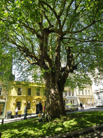 Three Abbey Green: Huge tree at the center of the court in front of B&B