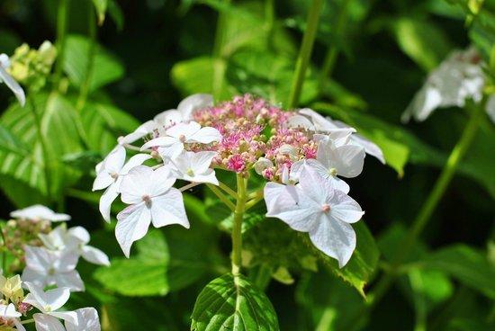 Hidcote Manor Garden: Hydrangea