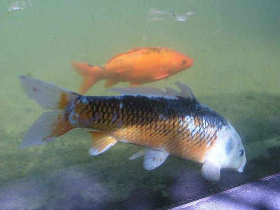 Monte Palace Tropical Garden: Kop carp