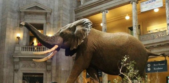 National Museum of Natural History : African Elephant