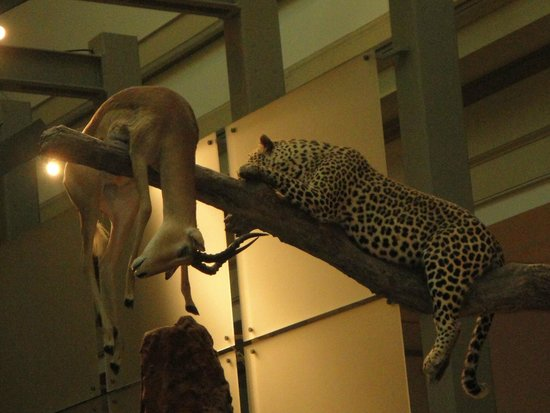 National Museum of Natural History : Cheetah with prey