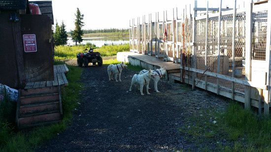 The Arctic Chalet Resort: Dogs getting some exercise.