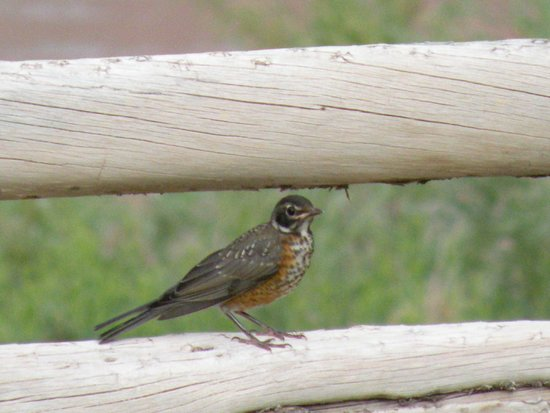 Red Cliffs Lodge: Baby robin waiting for mom