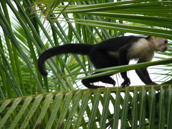 Villas Oasis: Here is the monkey that greeted us!