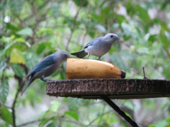 Tree Houses Hotel Costa Rica: Blue-grey tanagers stopped by every morning