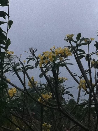 Plumeria-Frangipani flowers from terrace view of Sandat Bali