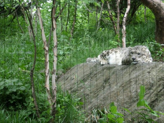 Snow Leopard at the Central Park Zoo