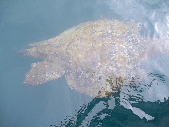 Isla de la Plata: tortuga marina