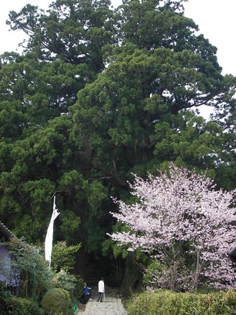 Daimonzaka: 夫婦杉を抜けていきます
