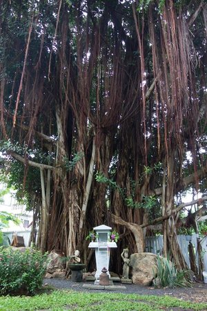 Banyan House Bed & Breakfast : most beautiful tree in the garden
