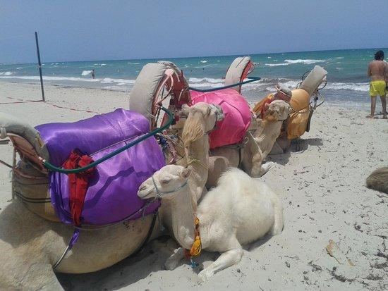 Djerba Holiday Beach : cammelli in spiaggia