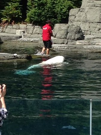 Vancouver Aquarium: A trainer working with a beluga whale during an afternoon show