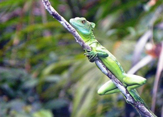 Parque Nacional Tortuguero: Lizard on tree