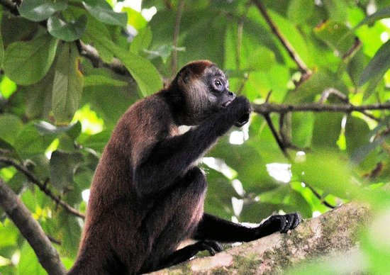 Parque Nacional Tortuguero: Spider monkey