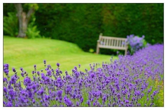 Malleny Garden: Beautiful lavender border