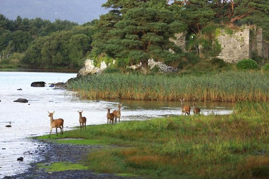 Lake Hotel: Red Deer roam the grounds