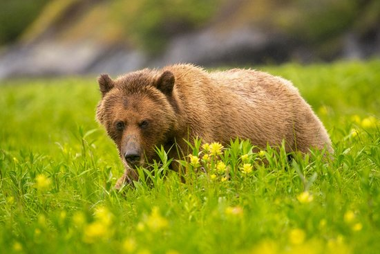 Spirit Bear Lodge : Close Encounter of the Grizzly Kind