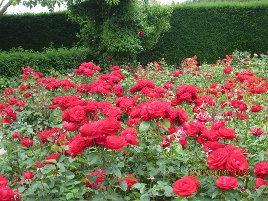 RHS Garden Rosemoor: Just part of the rose display . The brilliance of the colour almost hurt your eyes.