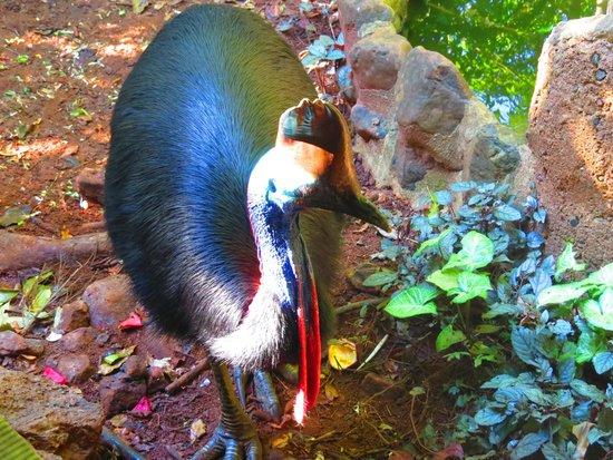 Rainforest Hideaway : cassowary