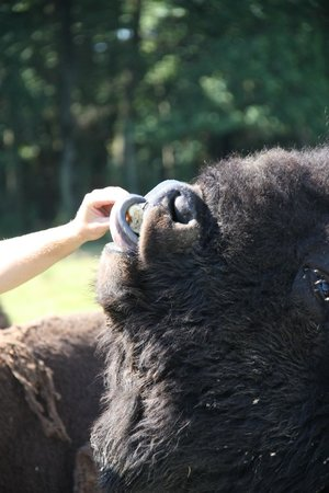 Safari Train -Reserve de Beaumarchais: Bison d'Amérique