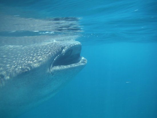 Phocea Mexico: requin baleine 2