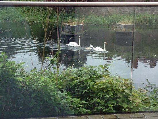 Swans and signets swimming by the dining room window at the River Lee hotel.