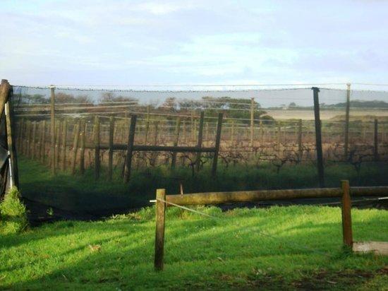 Phillip Island Winery: Vineyard