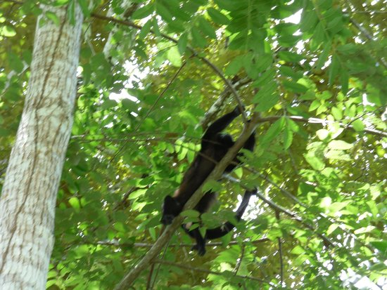 Curu National Wildlife Refuge: Howler monkeys in the trees.