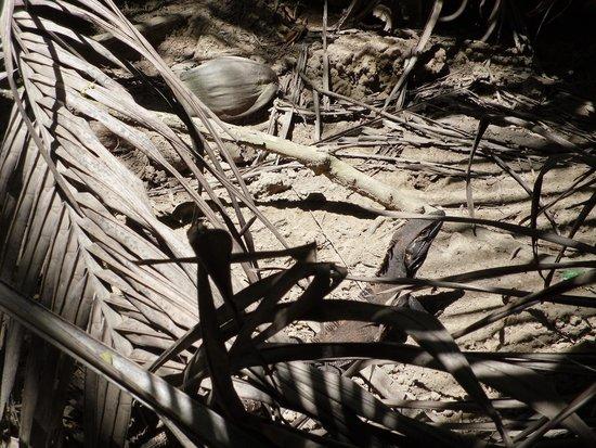 Curu National Wildlife Refuge: Mr. Iguana.