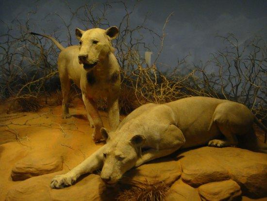 The Field Museum : Tsavo lions