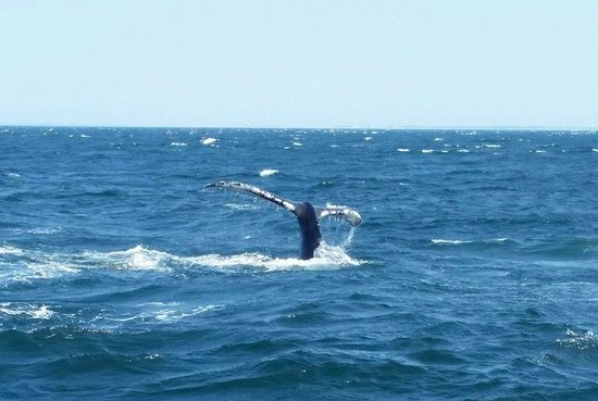 Hyannis Whale Watcher Cruises: A whale Lobtailing