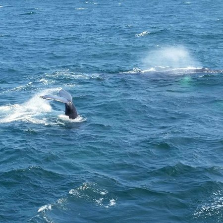 Hyannis Whale Watcher Cruises : Two whales coming up for air.  A mother and her calf.
