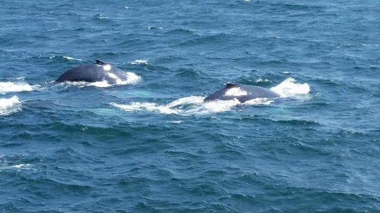 Hyannis Whale Watcher Cruises: Two whales as seen from third deck