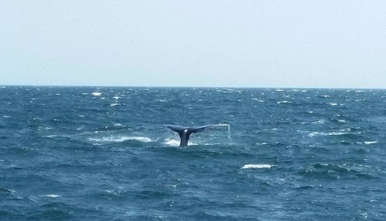 Hyannis Whale Watcher Cruises: Another lobtailer