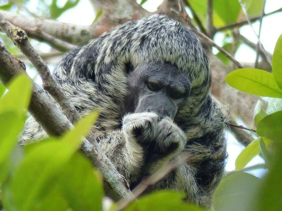 Juma Amazon Lodge : Monkeys visiting in the morning hours