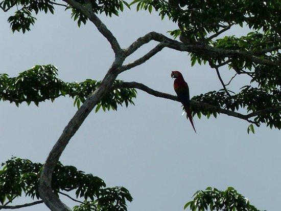 Juma Amazon Lodge: Macaw in a tree