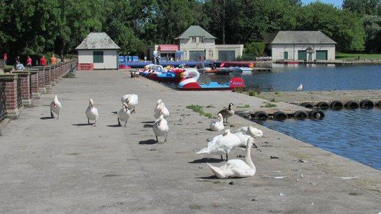 Stanley Park: Swan Lake