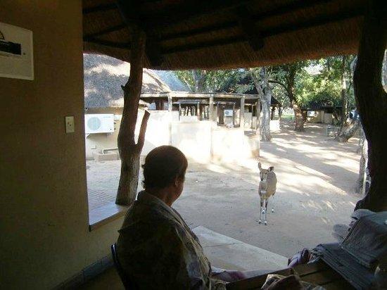 """Letaba Rest Camp: Een bosbok voor """"ons"""" huisje nr. E74  (maart 2014)"""