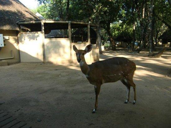 Letaba Rest Camp: Een van de bosbokken van Letaba  (maart 2014)