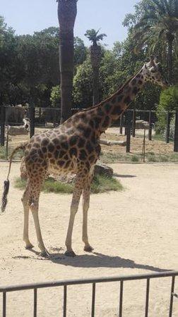 Zoo de Barcelona: Giraff