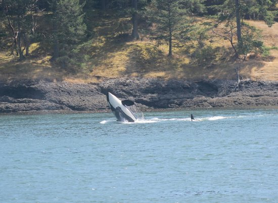 Sidney Whale Watching: Playful Orcas on a beautiful day!