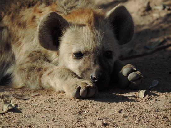 Hotel Numbi & Garden Suites: Hyena Cub