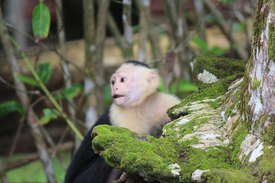 Hotel Las Caletas Lodge: Monkey Near Lodge