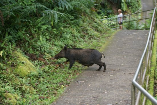 Akaka Falls State Park : feral pig crossing the walk