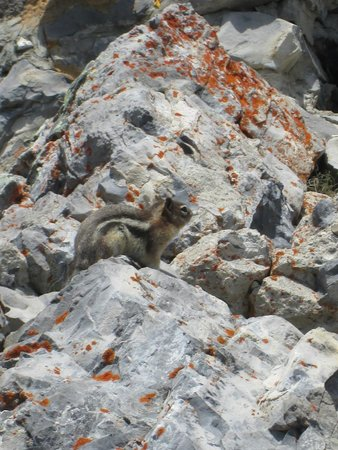 Banff Gondola : Golden Mantled Ground Squirrel