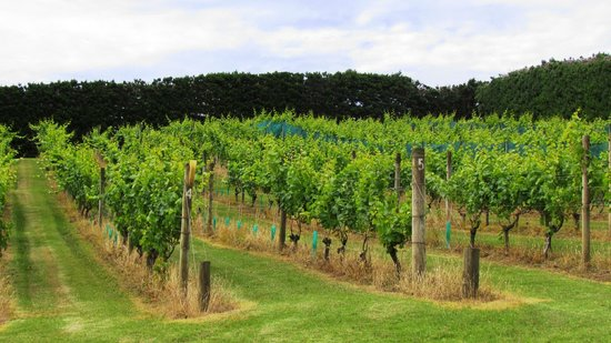 Mudbrick Vineyard: vinhedos de chardonnay